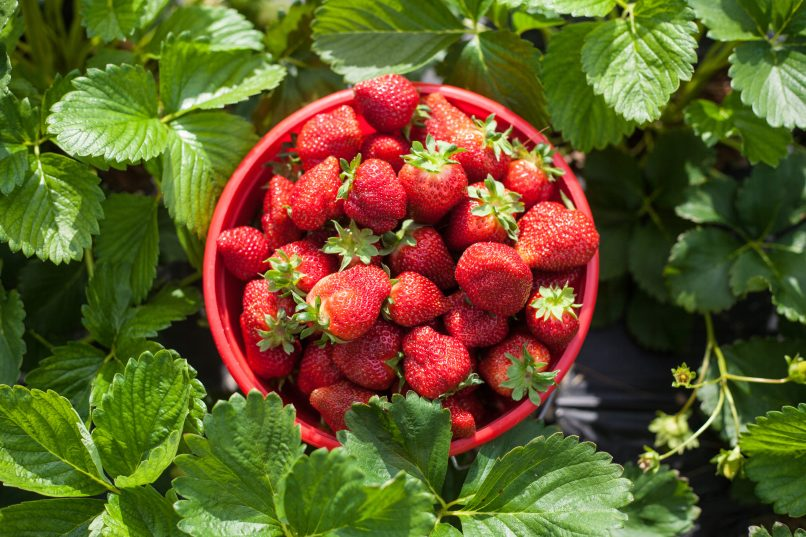 What to do in Hong Kong - Strawberries
