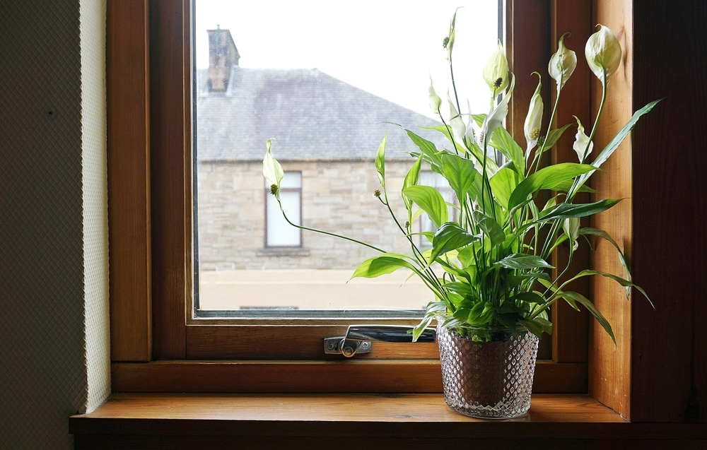 Style Peace Lily in your home